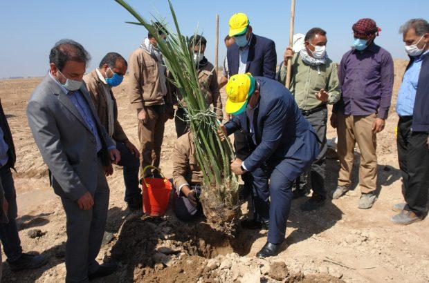 کاشت ۲۰۰ پاجوش نخل در کشت و صنعت سلمان فارسی