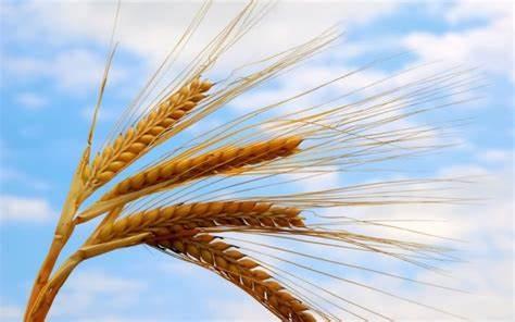 خوزستان سرآمد در تولید و تامین بذر گندم