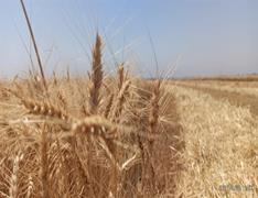 آغاز برداشت گندم از مزارع سلمان فارسی کلید خورد