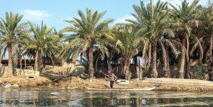 ایمنی نخلستان های اهواز علیه آفات