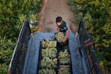 برداشت انگور در شهرستان کارون