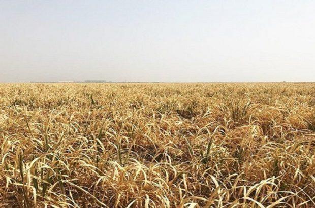 تعبیر کابوس زرد نیشکرها در پسِ کمبود آب/ خشکسالی مقصر است یا نبود مدیریت؟