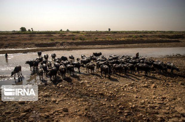 ۵۰۰ میلیارد ریال برای تامین علوفه دام مناطق کم آب خوزستان اختصاص یافت