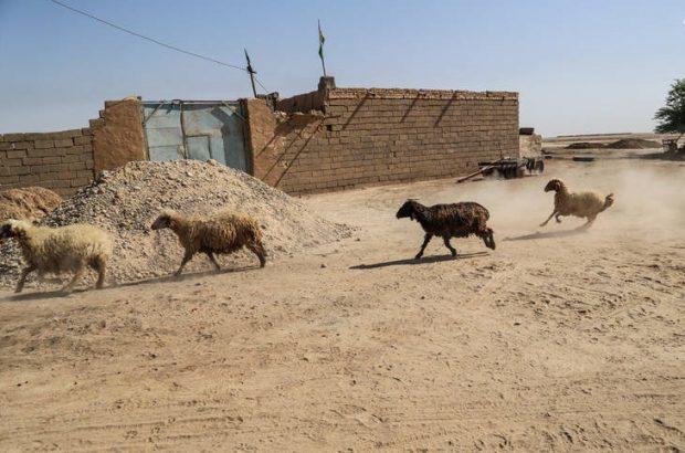 رئیس اتاق بازرگانی اهواز: خوراک دام مناطق دارای تنش آبی خوزستان به صورت رایگان تامین میشود