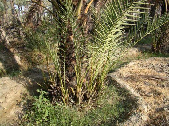 اجرای طرح شناسه دار کردن پاجوشهای خرما در خوزستان