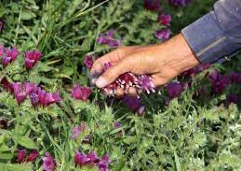 امینت تولید گیاهان دارویی با راه اندازی سامانه بازارگاه در خوزستان
