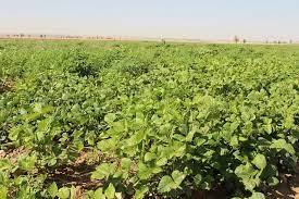 کشت تابستانه در ۳۰۰ هکتار از مزارع اهواز