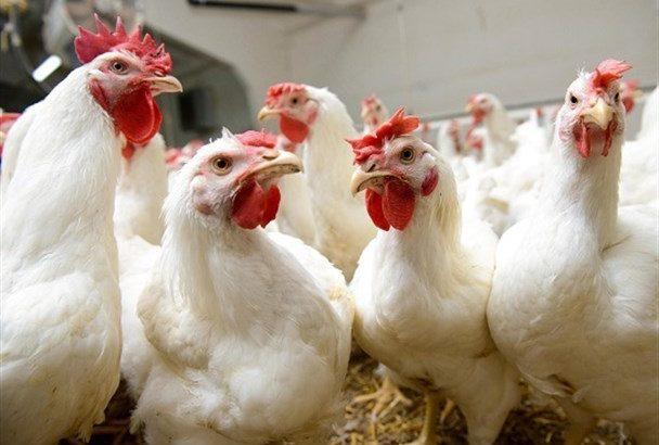 کشف ۱۰ تن مرغ زنده در اندیمشک