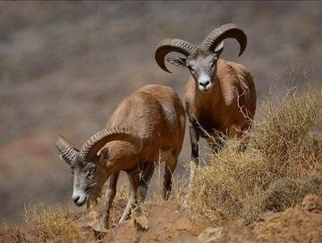 تأمین علوفه حیات وحش منطقه حفاظت شده كرایی توسط پیمانكار مناطق نفتخیز جنوب