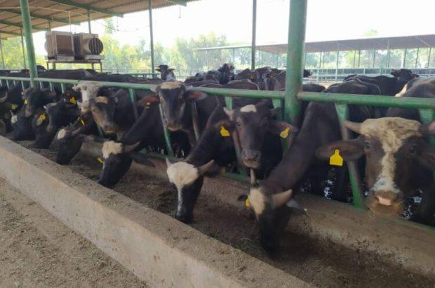 گزارش صدا وسیما از شرکت تولید خوراک دام شعیبیه